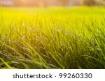 grass at sunset in the evening - stock photo