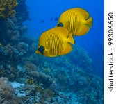 The bluecheek butterflyfish (Chaetodon semilarvatus) two yellow fish in front of beautiful coral reef underwater - stock photo