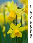Daffodils Shallow Depth Of...