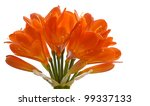 Clivia Flower Isolated On Whit...