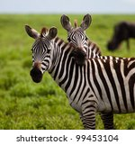Two Zebras In A Touching Pose...