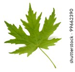 Small photo of Leaf from Silver Maple (Acer saccharinum)