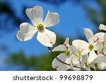 Flowering Dogwood. White Flower ...