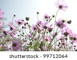 Elegant cosmos from Taiwan - stock photo
