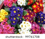 primula flowers | Shutterstock . vector #99761708