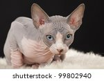 sphynx  canadian hairless ... | Shutterstock . vector #99802940