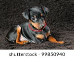 The Miniature Pinscher Puppy  ...
