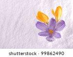 Three Crocus Flowers Emerging...