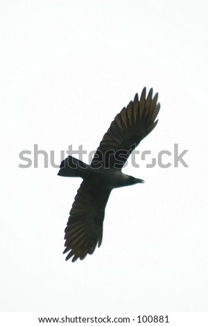 vector silhouette of the bird