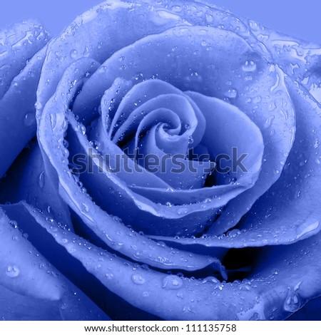 download single blue rose wallpaper 1920x1080 wallpoper