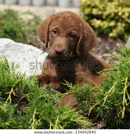 Chesapeake Bay Retriever Jacksonville Fl Advertising
