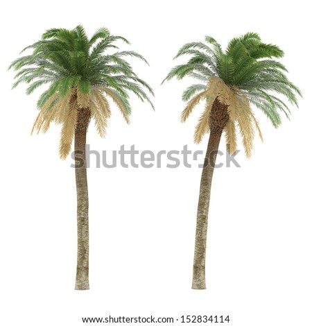 palm tree isolated phoenix