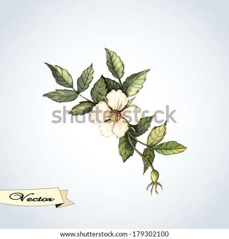 vector watercolor briar flower