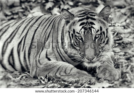 Black Tiger Images Free Stock Photos Download 3 591 Free Stock Photos For Commercial Use Format Hd High Resolution Jpg Images