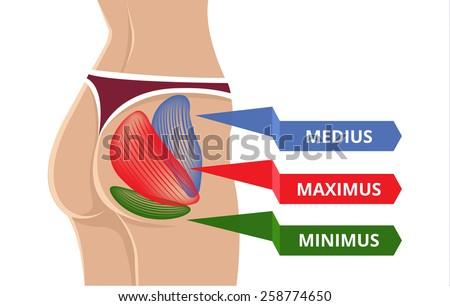vector flat gluteus maximus