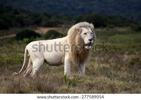 a big pure white male lion in