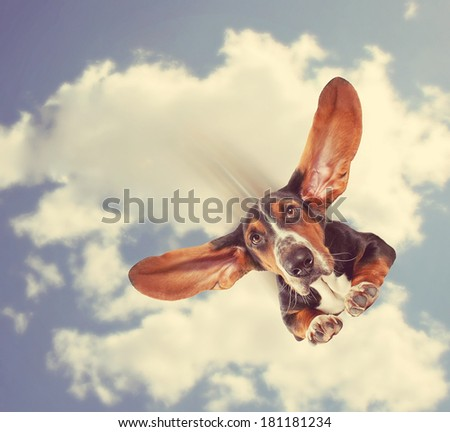 a basset hound flying through the air with his ears like a superhero done with a retro vintage instagram filter  - stock photo