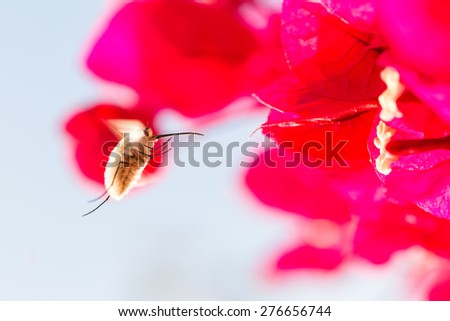 A bee fly with a long thin proboscis hovers in front of reddish pink bougainvillea flowers collecting nectarine Ayamonte, Andalucia, Spain, - stock photo