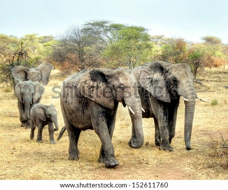 a big group of elephants on savannah in Africa - stock photo