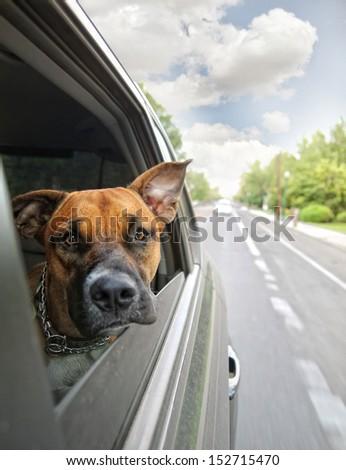 a boxer dog riding in a car  - stock photo