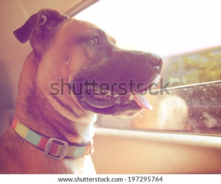 a boxer dog riding in a car done with a retro vintage instagram filter  - stock photo