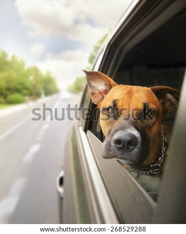 a boxer pit bull mix dog riding in a car with her head out of the window - stock photo