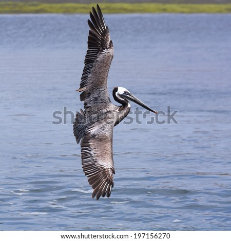 A brown pelican flying in Bolsa Chica Wet Land, California. - stock photo
