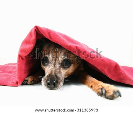 a chihuahua mix dog under a red blanket isolated on a white background - stock photo