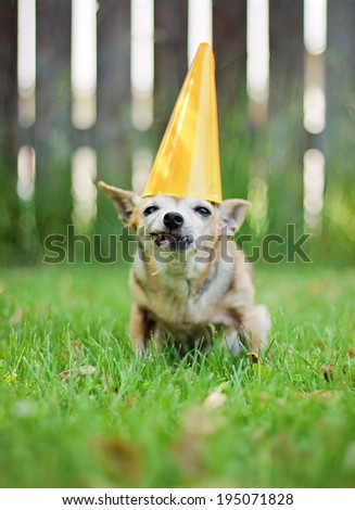 a chihuahua with a birthday hat on sitting in the grass - stock photo