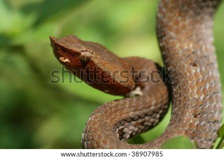 a cobra in rainforest, sri lanka - stock photo