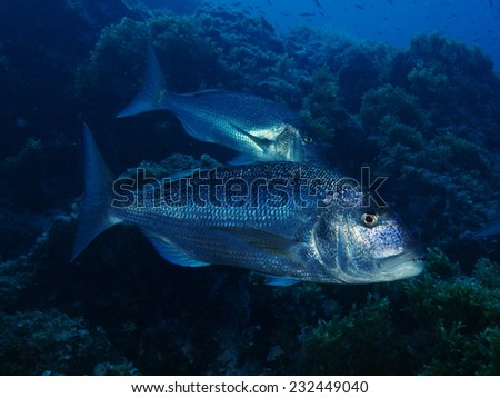 A couple of Dentex dentex fish swimming together - stock photo