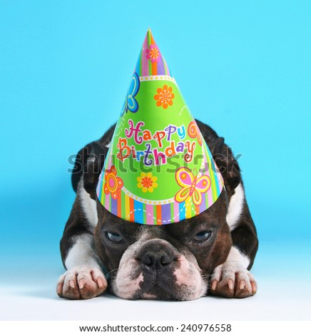 a cute boston terrier with a birthday hat on pouting on a blue background  - stock photo