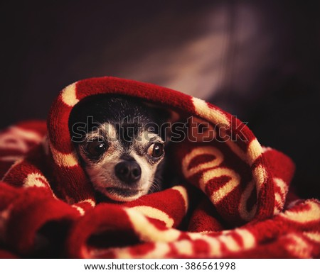 a cute chihuahua in a blanket looking nervous or scared toned with a retro vintage filter instagram app or action effect  - stock photo
