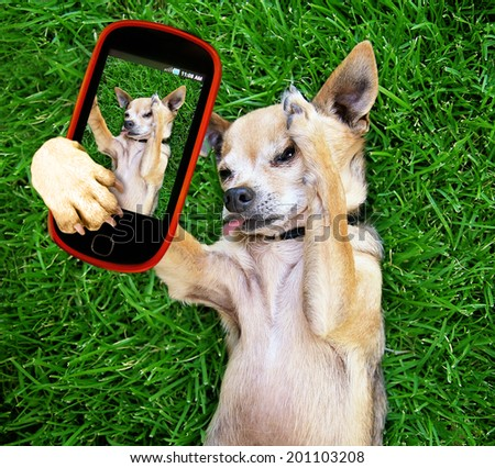 a cute chihuahua in the grass taking a selfie on a cell phone cell phone - stock photo