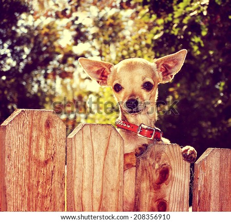 a cute chihuahua looking over a fence toned with a retro vintage instagram filter  - stock photo