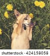 a cute chihuahua napping in the grassy clover surrounded by dandelions toned with a retro vintage instagram filter effect app or action  - stock photo