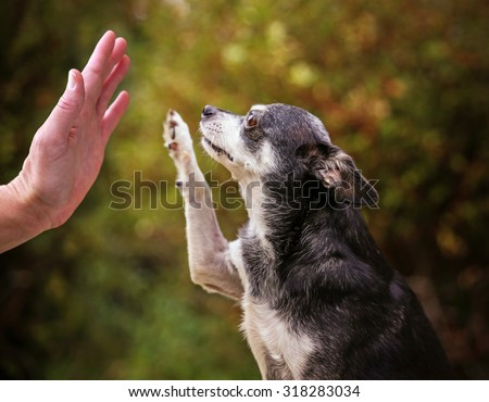 a cute chihuahua outside during summer time giving a high five  - stock photo