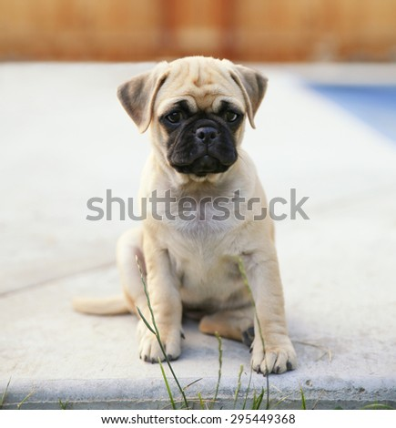 a cute chihuahua pug mix puppy (chug) looking at the camera with a head tilt in front of a fenced in pool in a backyard during summer  - stock photo