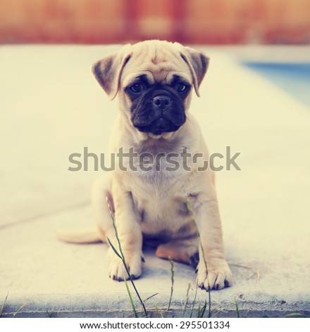a cute chihuahua pug mix puppy (chug) looking at the camera with a head tilt in front of a fenced in pool in a backyard during summer  toned with a retro vintage instagram app or action effect  - stock photo