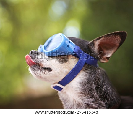 a cute chihuahua wearing goggles and sitting outside during summer time licking his nose (VERY SHALLOW DOF on the tip of the nose) - stock photo