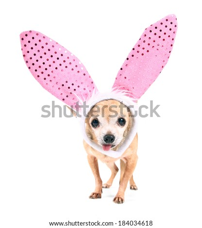 a cute chihuahua wearing rabbit ears on an isolated white background  - stock photo