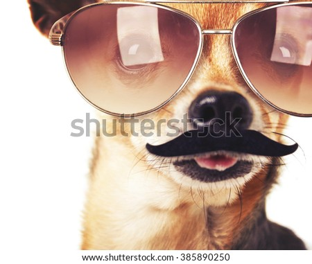 a cute chihuahua with a mustache in front of him with his tongue out on an isolated white background toned with a retro vintage filter instagram app or action effect  - stock photo