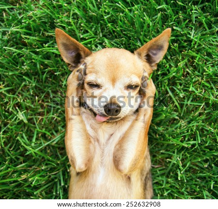 a cute chihuahua with his paws on his head covering his ears  - stock photo