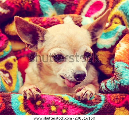 a cute chihuahua wrapped in a paisley throw blanket toned with a retro vintage instagram filter  - stock photo