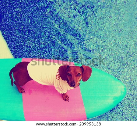 a cute dachshund on a board in a pool toned with a vintage retro instagram filter  - stock photo