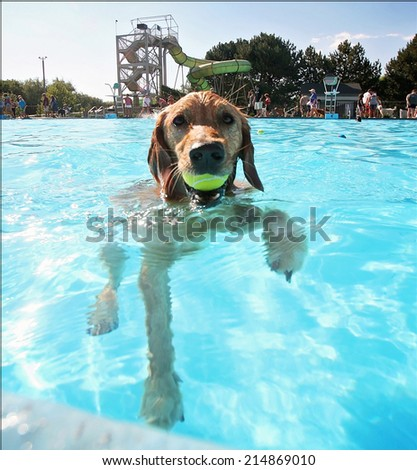 a cute dog having fun at a local public pool  - stock photo