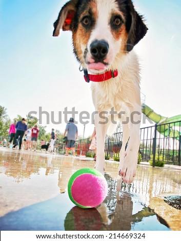 a cute dog having fun at a local public pool (focus on the ball) - stock photo