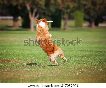 a cute dog in the grass at a park during summer catching a frisbee disc - stock photo