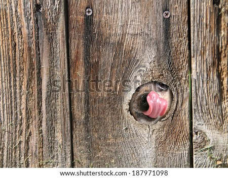 a cute dog's nose and tongue poking out of a hole in the fence licking and drooling  - stock photo