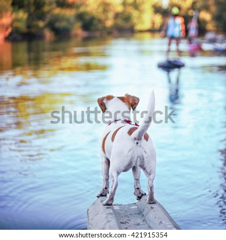a cute jack russell terrier enjoying the river outdoors on a summer day toned with a retro vintage instagram filter effect - shallow DOF FOCUS on the back part of the butt - stock photo
